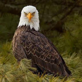 Bald Eagle by Herb Houghton - Animals Birds ( wild, bird of prey, eagle, bald eagle, herbhoughton.com, raptor, non captive, wild eagle )
