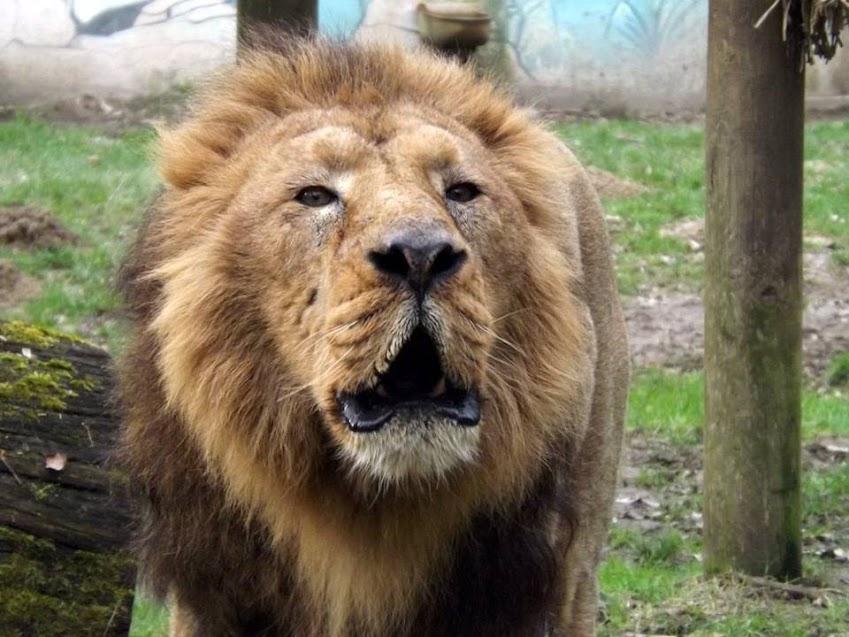 Lion d'Asie, la Boissière du Doré - Tous droits réservés