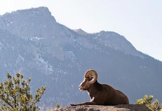 Photo: Same bighorn and Deer Mountain.
