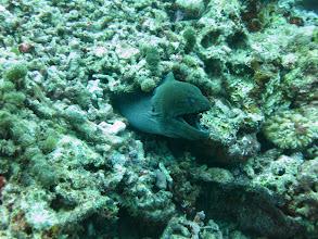 Photo: Giant moray