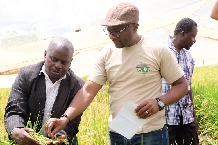 Dr John Kimani, a rice breeder from the Kenya Agricultrure and Livestock Research Organisation and Kayode Sanni from the African Agricultural Technology Foundation at a National Performance Trial site for hybrid rice in Mwea.