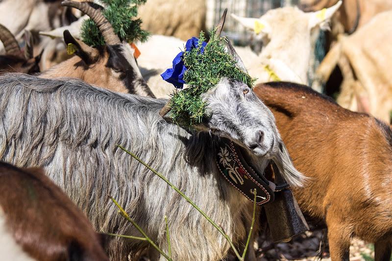 Anche una capra può essere vanitosa di Jiggly