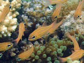Photo: Apogon cyanosoma (Yellowstriped Cardinalfish), Naigani Island, Fiji
