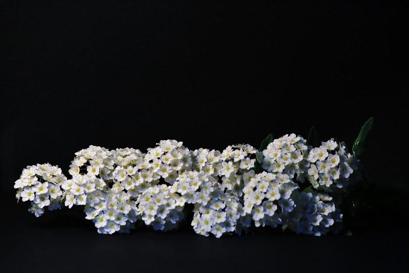 Ramo di fiori di ScrofaniRosaria