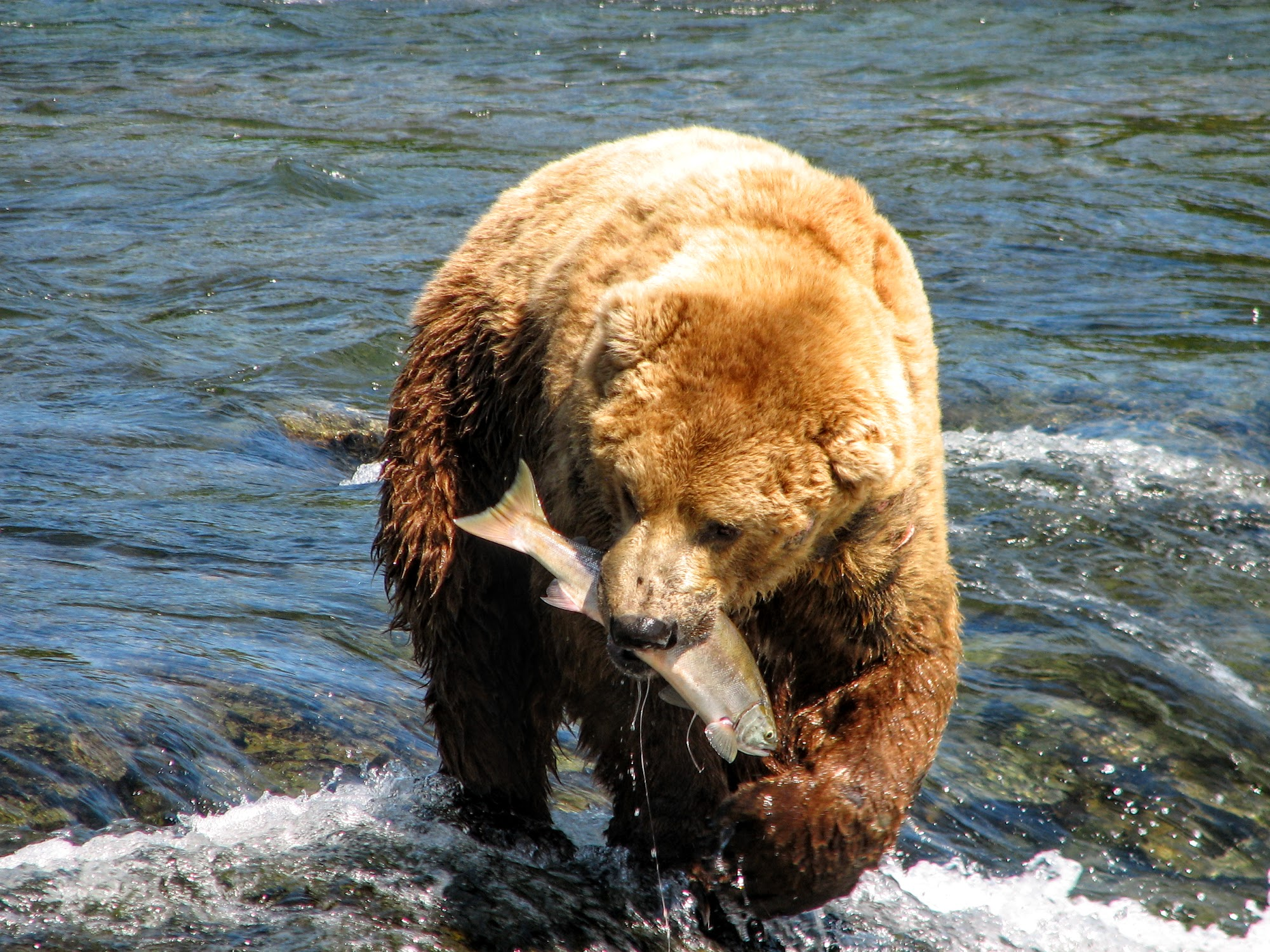 Grizzly Bear at Katmai Brooke Falls