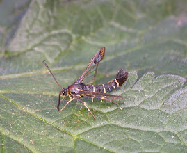 Photo: Currant Clearwing