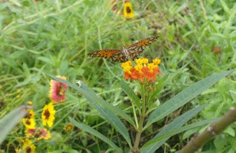Photo: Monarch butterfly