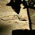 Common wall lizard (Τοιχογουστέρα)