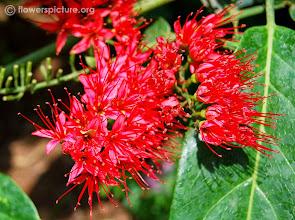 Photo: Escova de Macaco Vermelha ( Combretum coccineum )  Trepadeira muito atrativa para Beija-Flores, com sementes  muito ornamentais, no formato de pequenas Carambolas, com algumas podas pode ser conduzida como arbusto.