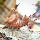 Crab Caterpillar