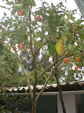 Photo: Weird (tomato) tree in garden 2.