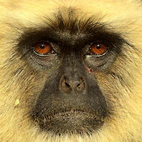 Langoor by Manoj Kulkarni - Animals Other Mammals ( nature, wildlife, langoor,  )