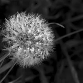 B/W by Anabela Henriques - Black & White Flowers & Plants ( macro, b&w, nature, flowers,  )