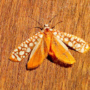 Asian Alianthus Webworm Moth