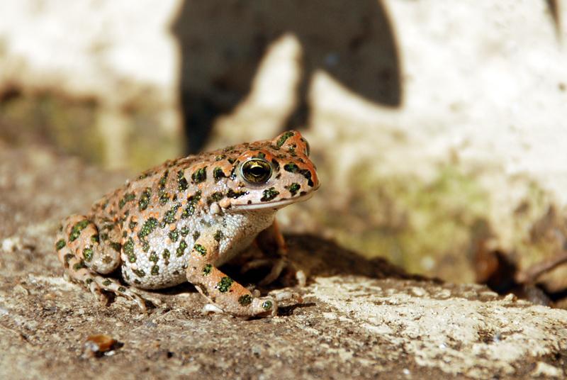 European green toad