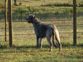 Photo: 8-14-2012 Wendy watching the pasture 2yrs 2mo old