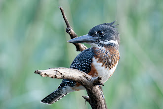 Photo: Giant Kingfisher, Austin Roberts bird sanctuary