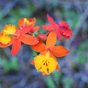 Fire Star Orchid