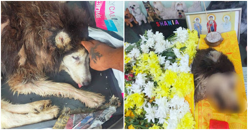 M'sian Warns About The Dangers Of Backyard Breeding After Husky Was Allegedly Starved To Death By Breeder