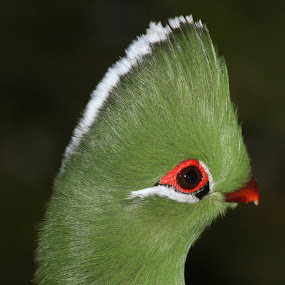 knysna loerie oog by AB Rossouw - Animals Birds ( bird, green, eyes )