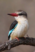 Photo: Brown hooded kingfisher, Buffalo Gorge, South Africa