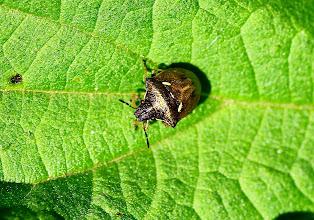 Photo: Eysarcoris aeneus  Heteroptera > Pentatomidae