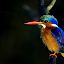 Malachite Kingfisher by Richard Wicht - Animals Birds ( malachite kingfisher, colourful, south africa, kingfisher, wildlife, feathers, africa, close up, small, birds,  )