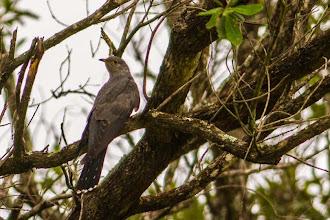 Photo: An elusive visitor, an African cuckoo; Um visitante tímido, um cuco-africano.