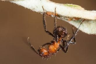 Photo: Hairy ant Formiga peluda