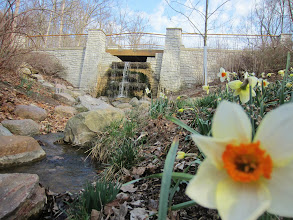 Photo: Daffodils by a waterfall at Hills and Dales Metropark in Dayton, Ohio.