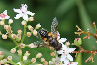 Photo: Eristalis sp.   cf lineata  Diptera > Syrphidae