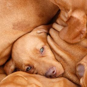 The brat pack by Gordon Bishop - Animals - Dogs Puppies ( dogs, vislas, sleeping, sleep, hungarian, gun, puppies, gun dog, visla, hunting, pointer, puppy, brown, dog, , #GARYFONGPETS, #SHOWUSYOURPETS )