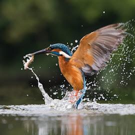 Kingfisher by Howard Kearley - Animals Birds ( water, blue, fish, dive, king )