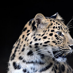 Leopard Portrait by Dawn Cotterell - Animals Lions, Tigers & Big Cats ( black background, spots, zoo, portrait, leopard,  )