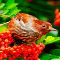 Red Fruit Bird LWP icon