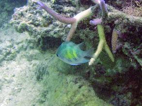 Photo: Amblyglyphidodon curacao (Staghorn Damselfish), Naigani Island, Fiji