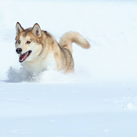 Snow day by Kevin Taylor - Animals - Dogs Running ( winter, snow, action, portrait,  )