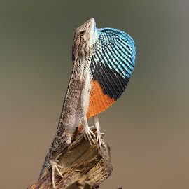 Fanning to impress by Gayatri Pimple - Animals Reptiles ( close up, reptiles, display, reptile, beauty in nature, mating, fan, blue, closeup, up close, animal, animals, lizard, wildlife )