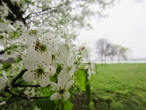 Photo: White pear blossoms by a lake at Eastwood Park in Dayton, Ohio.