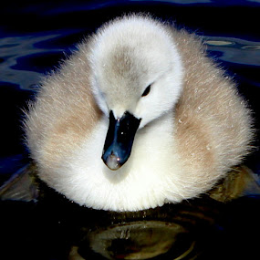 Cute Cygnet by Yvette O Beirne - Animals Birds ( water, bird, cygnet, pwcbabyanimals, swan, baby )