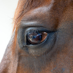 Eye by Curly Yanni - Animals Horses (  )