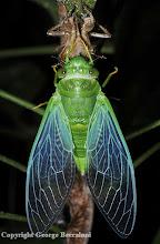 Photo: Newly eclosed cicada. Bako National Park, Sarawak, Borneo.2009. Copyright George Beccaloni
