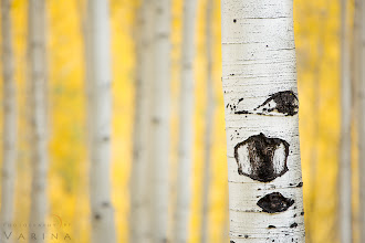 "Photo: Do you Think before you Shoot?  Aspens in Marble, Colorado  I love aspens. Who doesn't? But if you've tried to photograph them, maybe you know that getting a shot you really like isn't as easy as you think it's going to be. You pull out your camera in front of all that golden glory, and the resulting image just doesn't do the scene justice. So, how do you go about getting the shot you want?  Start by thinking about the most important element in your image. What are you trying to show? Is it the sweeping landscape? The beautiful mountainside? Or is the most important element of the image the colors themselves? In this case, I really wanted to show off the details on the trunks of the trees - but I also wanted to make sure that the colors were an important part of the photo. And I am almost always looking for a minimalist composition - so of course, that was part of my planning.  The first step was to find the right aspen glen. :) I know - that seems kind of obvious... but the thing is, it isn't that easy. Notice that there's no bright sunlight coming through those leaves. And notice that you can't see the base of the trees, the ground, or any canopy or sky. Those are important details. The elements you don't include in a photo are just as important in the planning process as the things you do include.  I needed a high vantage point with trees growing below me. Standing on the forest floor would put me too low - I'd end up with ground in the photo if I pointed my camera downward or even straight ahead. And I'd end up with sky in the photo - and distortion - if I angled the lens upward. No good. When we drove past this glen, I knew we were in the right place. The road was high enough, and the bases of the trees were low enough. And behind my scene was a vast mountain that blocked my view of the sky. Perfect.  The next step was to find the right tree for my ""point of interest"". I walked up and down the road searching for the best one - but each time, there was something distracting behind. A trunk that tilted at an odd angle - calling attention to itself. A broken branch. Too much white trunk behind and not enough golden color. And often, trees that were too close to let just one stand out on its own. This tree was just right - but only if I stood in just the right place. There's actually a dead trunk just behind this one, but I chose an angle that hides it. No distracting elements allowed. :)  We were in this spot for about 20 minutes, and I have just one image to show for it. But it's the photo I wanted.  When I finally found my composition, I took a few shots to decide how much depth of field I wanted. I chose an aperture (f/4) that would allow me to smooth the details in the background as much as possible - while keeping the tree in the foreground nice and sharp.  The most important step in post-processing was getting the color balance just right. A slight color cast would be enough to leave the whole image feeling dull.  So, there you go. That's what was going on in my head while I was taking this shot. What do you think? Would you have done things differently?  #photographytips   #photohowto"