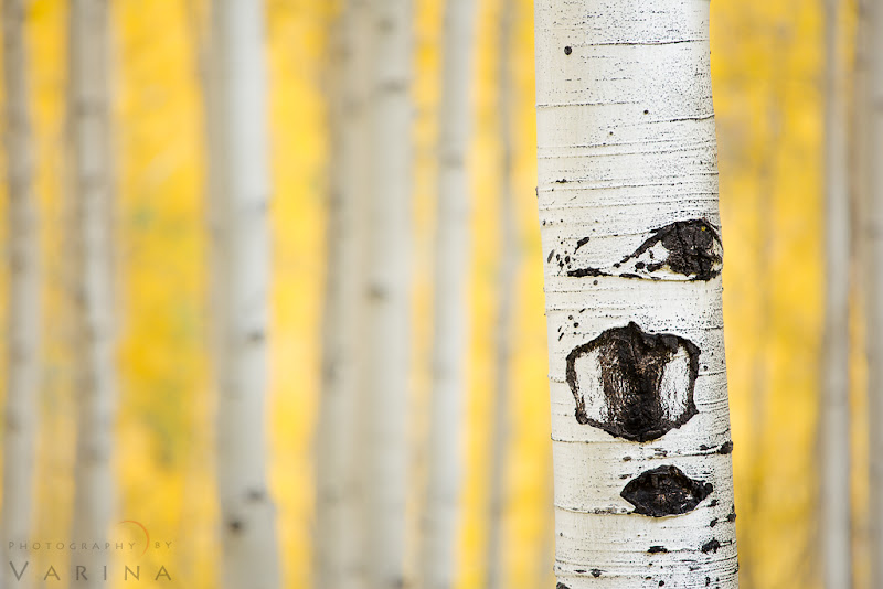 """Photo: Do you Think before you Shoot?  Aspens in Marble, Colorado  I love aspens. Who doesn't? But if you've tried to photograph them, maybe you know that getting a shot you really like isn't as easy as you think it's going to be. You pull out your camera in front of all that golden glory, and the resulting image just doesn't do the scene justice. So, how do you go about getting the shot you want?  Start by thinking about the most important element in your image. What are you trying to show? Is it the sweeping landscape? The beautiful mountainside? Or is the most important element of the image the colors themselves? In this case, I really wanted to show off the details on the trunks of the trees - but I also wanted to make sure that the colors were an important part of the photo. And I am almost always looking for a minimalist composition - so of course, that was part of my planning.  The first step was to find the right aspen glen. :) I know - that seems kind of obvious... but the thing is, it isn't that easy. Notice that there's no bright sunlight coming through those leaves. And notice that you can't see the base of the trees, the ground, or any canopy or sky. Those are important details. The elements you don't include in a photo are just as important in the planning process as the things you do include.  I needed a high vantage point with trees growing below me. Standing on the forest floor would put me too low - I'd end up with ground in the photo if I pointed my camera downward or even straight ahead. And I'd end up with sky in the photo - and distortion - if I angled the lens upward. No good. When we drove past this glen, I knew we were in the right place. The road was high enough, and the bases of the trees were low enough. And behind my scene was a vast mountain that blocked my view of the sky. Perfect.  The next step was to find the right tree for my """"point of interest"""". I walked up and down the road searching for the best one - but each time, there was so"""