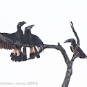 Bushy-crested Hornbill