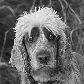 Sad Oscar by Chrissie Barrow - Black & White Animals ( monochrome, black and white, sad, cocker spaniel, pet, fur, ears, dog, mono, eyes, animal )