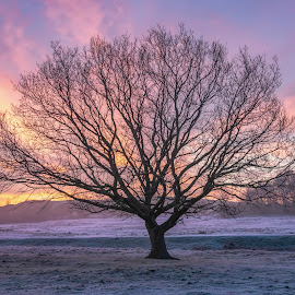 Tree at Sunrise by Darrell Evans - Nature Up Close Trees & Bushes ( sky, sunrise, flora, winter, clouds, silver birch, trees, morning, outdoor, grass, plant, no people, park )