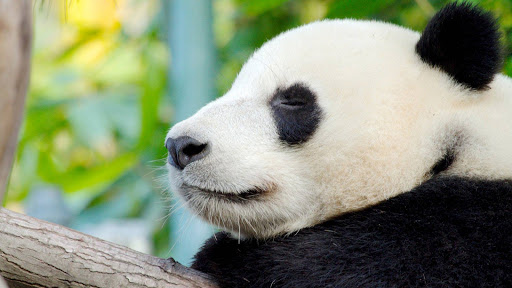 A panda in repose at the San Diego Zoo.