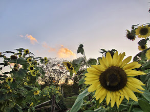 Photo: Sunset and sunflowers at Cox Arboretum and Gardens of Five Rivers Metroparks in Dayton, Ohio.