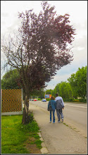 Photo: Corcodus ornamental rosu  (Prunus cerasifera Nigra) - de pe Calea Victoriei, Mr.3 - zona Spalatorii Auto - 2017.06.17